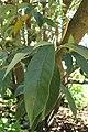 Magnolia doltsopa kz02.jpg