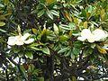 Magnolia grandiflora.050 - A Coruña.JPG