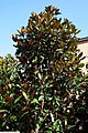 Magnolia grandiflora Kay Paris 3zz.jpg