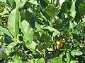 Magnolia stellata Centennial 0zz.jpg