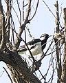 Magpie-lark (Grallina cyanoleuca) - Flickr - Lip Kee.jpg