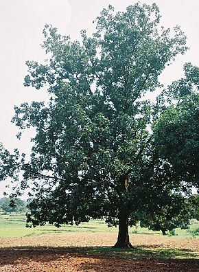Description de l'image Mahuwa tree in Chhattisgarh.jpg.