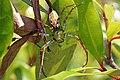 Malagasy green lynx spider (Peucetia madagascariensis) female.jpg