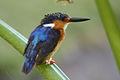 Malagasy kingfisher alcedo vintsioides.jpg