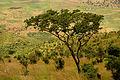 Malawi acacia.JPG
