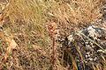 Malta - Mellieha - Triq il-Marfa - L-Inhawi tal-Ghadira - Orobanche pubescens 01 ies.jpg
