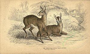 Musk - Musk Deer of Tibet in old illustration