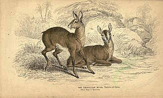 Musk - Musk Deer of Tibet in old illustration
