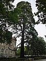 Mammutbaum Süd-Ost-Sicht.jpg