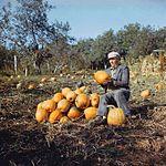 Man harvesting pumpkins, Moldova (80-ies).jpg