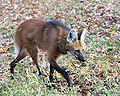 Maned Wolf 2, Beardsley Zoo, 2009-11-06.jpg