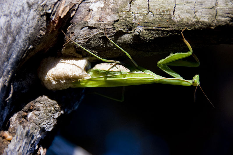 Mantis Laying Eggs