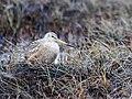 Marbled Godwit Limosa fedoa beringiae near Ugashik, Alaska 2.jpg