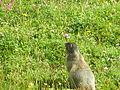 Marmotte debout.JPG