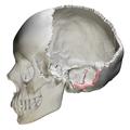 Mastoid border of occipital bone09.png