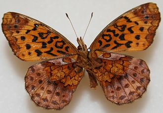 Boloria bellona - Underside of the wings