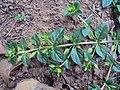 Mecardonia procumbens 04.JPG