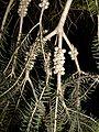 Melaleuca pubescens fruit at Ilanot arboretum-a-RJP.jpg