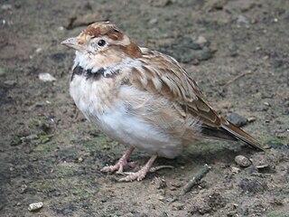 Mongolian lark species of bird