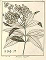 Melastoma longifolia Aublet 1775 pl 170.jpg