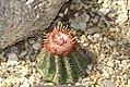 Melocactus conoideus 1zz.jpg