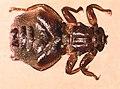 Melophagus-ovinus-adult.jpg