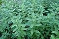 Mentha longifolia kz02.jpg