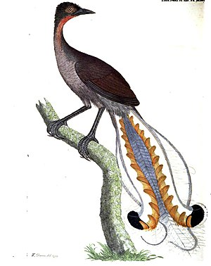 Lyrebird - Menura superba – superb lyrebird (1800) by Thomas Davies