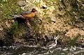 Merganetta armata (Pato de torrente) - Pareja (14253701665).jpg