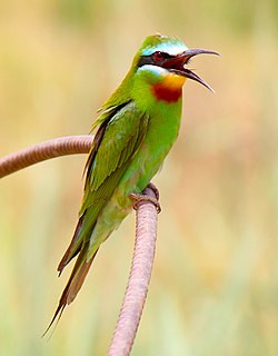 Merops persicus in India (7430901896) (cropped).jpg