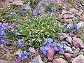 Mertensia alpina (7977044753).jpg
