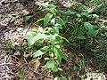 Mertensia paniculata 1-eheep (5097924842).jpg