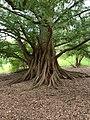 Metasequoia glyptostroboides in the Morris Arboretum 01.jpg