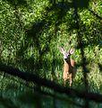 Metskits - Roe Deer - Capreolus capreolus.jpg