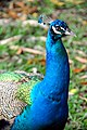 Mexico-5828 - Mayan Peacock (4657318072).jpg