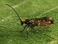 Micropterix aruncella - Мелкокрыл полосатый (39227471440).jpg