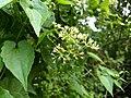 Mikania micrantha, bitter vine,climbing hemp vine, American rope. Flower. From Ezhupunna - 2.jpg