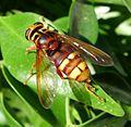 Milesia crabroniformis. Syrphidae - Flickr - gailhampshire (2).jpg