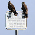 Milvus migrans at Dudaim Landfill ,Israel.jpg