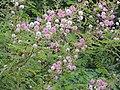 Mimosa himalayana Corbett TR AJT Johnsingh DSCN8356.JPG