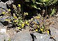Mimulus guttatus - UBC Botanical Garden - Vancouver, Canada - DSC08298.jpg