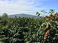 Min Mountain Coffee farm 5 years.JPG