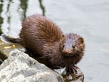A wet American mink with pale brown fur, dark brown eyes, long fingers, and a skinny tail. Its head is turned to the right and it is standing on a rock next to water.