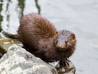 American mink - Image: Minkfor Wiki