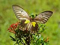 Miranda Birdwing (Troides miranda) female (8067464862).jpg