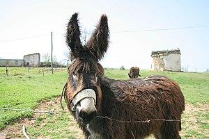 Miranda donkey - Young Miranda donkey before fully shedding coat