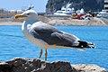 Mittelmeermöwe Monaco IMG 1130.jpg