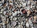 Mollusc shells on marine beach (Cayo Costa Island, Florida, USA) 1 (24245130531).jpg