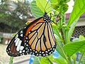 Monarch Butterfly in Hong Kong.JPG