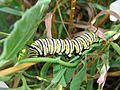 Monarch Caterpillar, Danaus plexippus - Flickr - GregTheBusker.jpg